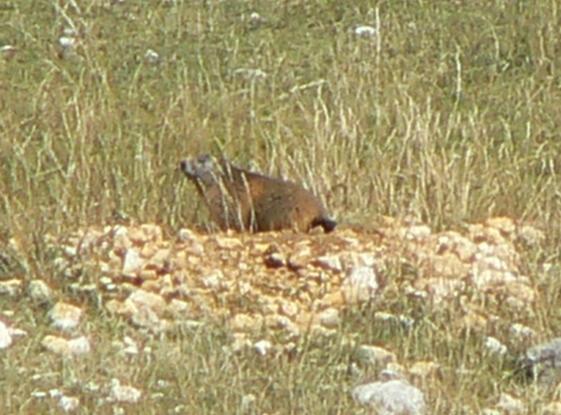 une autre marmotte